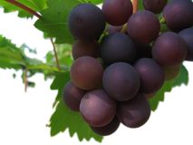 Grapes. Organic Grapes on the vine - isolated from bottom royalty free stock photos