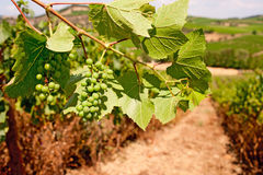 Grapes. Bunches of grapes ripening in the South of France Stock Photos