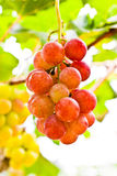 Grapes. A grape is a non-climacteric fruit, specifically a berry, and from the deciduous woody vines of the genus vitis Stock Images