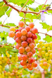 Grapes. A grape is a non-climacteric fruit, specifically a berry, and from the deciduous woody vines Royalty Free Stock Image