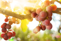 Grapes. Bunch of green muscat grapes on vine at sunset time Stock Images