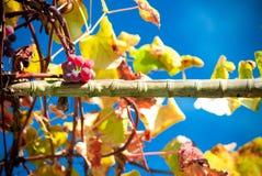 Grapes - Royalty Free Stock Photo