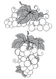 Grapes royalty free illustration