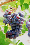 Grapes. Close-up of a bunch of grapes on grapevine in vineyard Royalty Free Stock Image