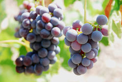 Grapes. Close-up of a bunch of grapes on grapevine in vineyard Royalty Free Stock Photo