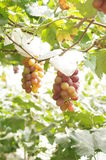 Grapes. In the garden with sunshine stock image