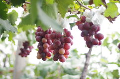 Grapes. In the garden with sunshine stock photos
