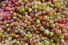 Grapes. Freshly picked-up colour-full grapes Royalty Free Stock Image