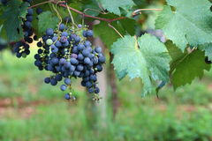 Grapes. Bunches of black grapes for red table wine Royalty Free Stock Photo