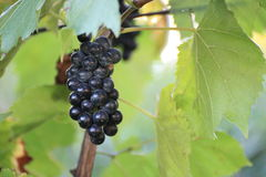 Grapes. In the vineyard in Moravia Royalty Free Stock Image