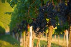 Free Grapes Royalty Free Stock Photo - 26598595