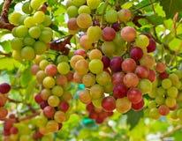 Grapes. At Silverlake in Pattaya, Thailand Royalty Free Stock Photo