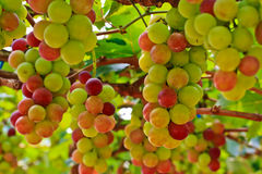 Grapes. At Silverlake in Pattaya, Thailand Stock Image