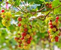 Grapes. At Silverlake in Pattaya, Thailand Stock Photos