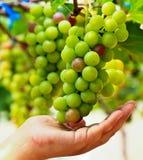 Grapes. At Silverlake in Pattaya, Thailand Royalty Free Stock Images