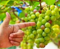 Grapes. At Silverlake in Pattaya, Thailand Stock Images