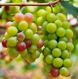 Grapes. At Silverlake in Pattaya, Thailand Stock Photo