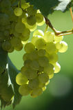 Grapes. Bunch of grapes Stock Photography
