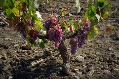 Grapes. In a vineyard Spanish stock image