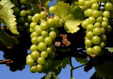 Grapes. Some green grapes in a vineyard detail stock photos