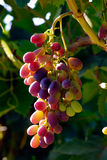 Grapes Stock Photography