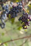 Grapes. Lush green and purple grapes Royalty Free Stock Photos