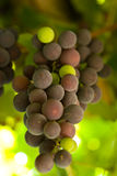 Grapes. Ripening in the grapevine Royalty Free Stock Image