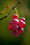 Grapes. Juicy grapes in autumn light stock photo