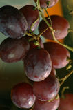 Grapes. On a vine Stock Image