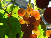 Grapes. Hanging from a vine Royalty Free Stock Image