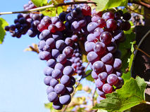 Grapes. On a branch Royalty Free Stock Photography