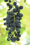 Grapes. A bunch of home grown organic black grapes Royalty Free Stock Photography