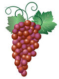 Grapes. Bunch of purple red grapes with leaves and tendrils vector illustration