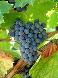 Grapes. Ripe black grapes  on branch Stock Images