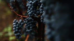 Grapes_037 απόθεμα βίντεο