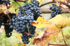 Grapes. A cluster of blue grapes on a vine Stock Photo