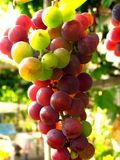 Grapes. For wine (green and violet stock image
