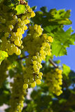 Grapes. Vine of grapes under the sun Royalty Free Stock Photography