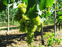 Grapes. Vine and grapes in a vineyard Royalty Free Stock Photos