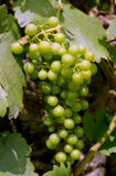 Grapes. On a summer day in the castle park of Dornburg, Germany Royalty Free Stock Image