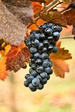 Grapes Stock Photo
