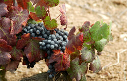 Grapes. In Spain stock photo