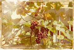 Grapes. Old style photo. Fall in old town royalty free stock photos