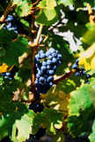 Grapes. Wine grapes at a vineyard in Australia Stock Photography