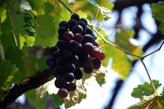Grapes. Close-up of a bunch of grapes on grapevine in vineyard Stock Photo