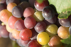 Grapes. In the vineyard Royalty Free Stock Photo