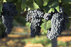 Grapes. Bunches of grapes in the vineyard Stock Image