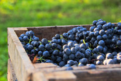 Free Grapes Stock Images - 77902024