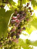 Grapes. Isolated bunch of grapes in the sunshine Stock Images
