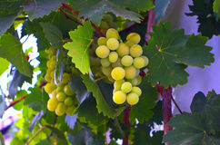 Grapes against wall. royalty free stock photography